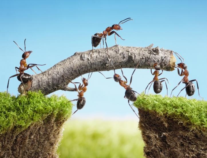 team-work-ants-constructing-bridge